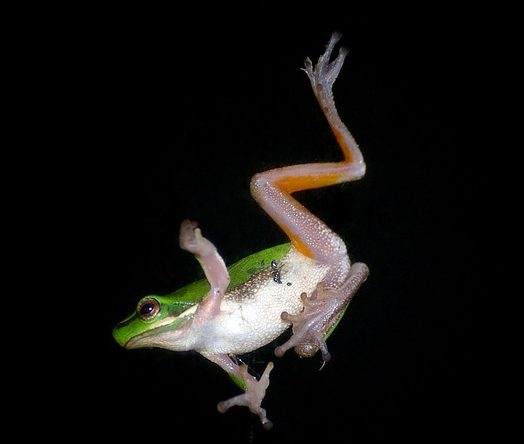 tree-frog-425084_640