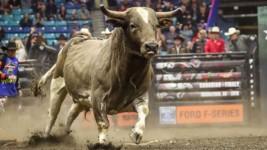 2020 PBR Canada Bull of the Year Contenders Announced Ahead of PBR Canada Monster Energy Tour Finals Week Nov. 5-7 in Grande Prairie, Alberta
