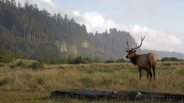 California Granted $6.6 Million to Benefit Elk, Research