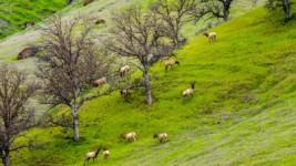 RMEF Protects California Tule Elk Habitat